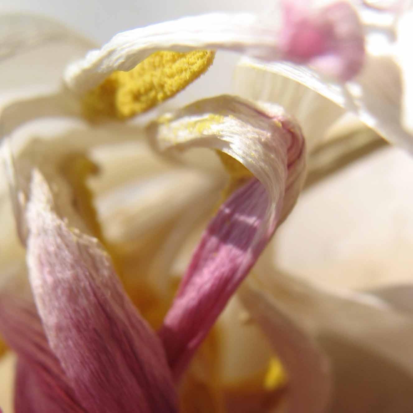 Rita Gäßler - Fotografie - Tulpen I
